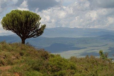 2013-03-12 - Tanzania - 3 - Ngorongoro Park - (111) - Candelabra Tree
