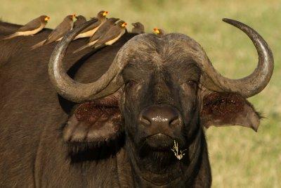 2013-03-13 - Tanzania - 1 - Ngorongoro Crater - (54) - Cape Buffalos