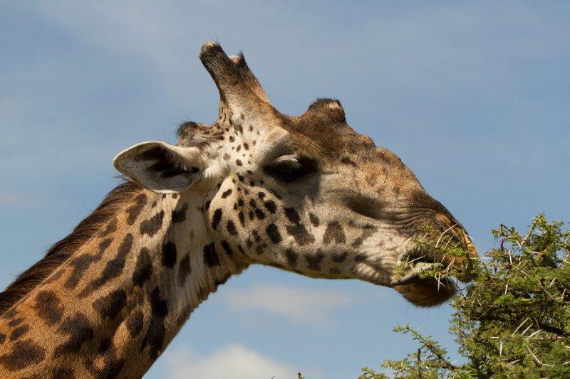 2013-03-16 - Tanzania - Serengeti - 1 - AM Safari Drive - (262) - Giraffe