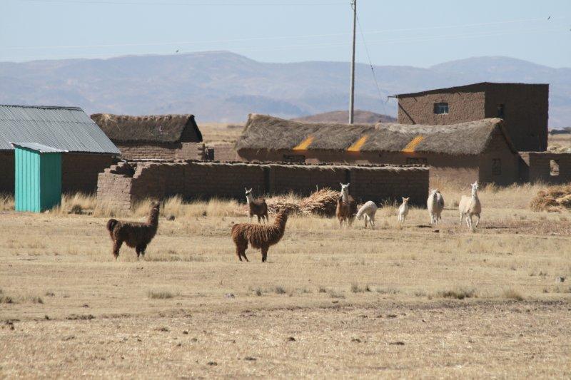 Llamas On a Farm
