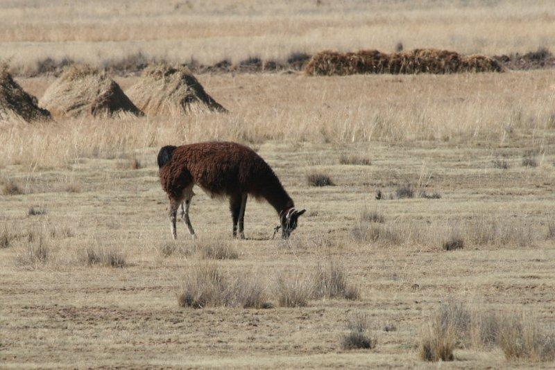 Grazing Llama