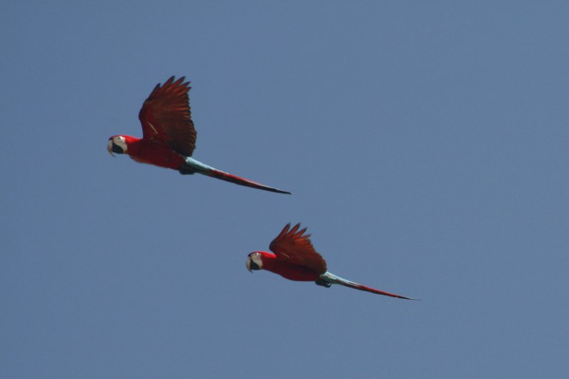 A Pair of Red-and-Green Macaws