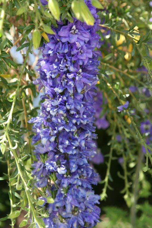 Purple Flowers in the Qorikancha Gardens