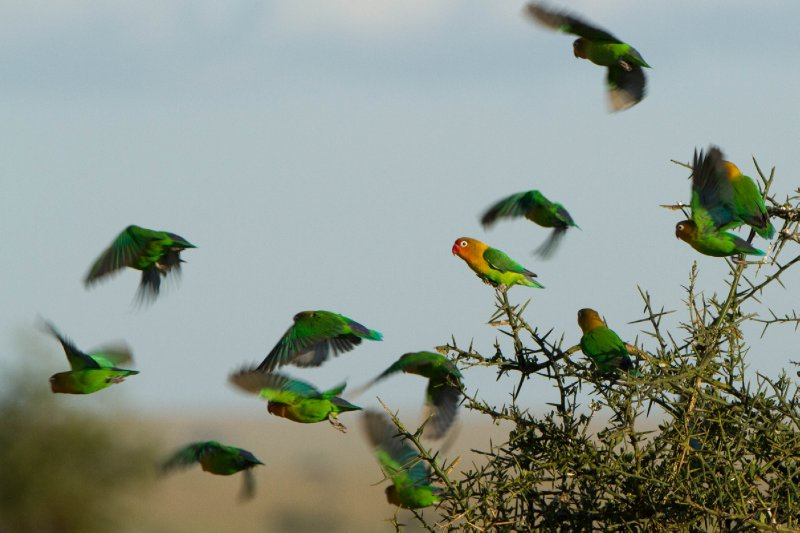 2013-03-16 - Tanzania - Serengeti - 3 - PM Safari Drive - (197) - Fischer's Lovebirds