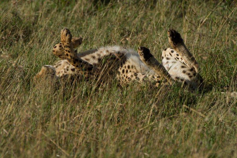 2013-03-17 - Tanzania - 1 - Serengeti - (48) - Cheetah
