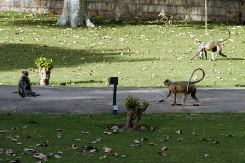 Black-Faced Langurs at Khajuraho