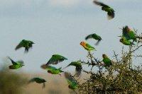 2013-03-16 - Tanzania - Serengeti - 3 - PM Safari Drive - (197) - Fischer's Lovebirds