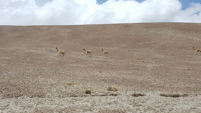 vicuña on the move