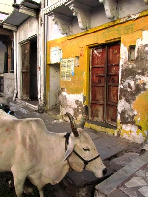 Cow, Udaipur