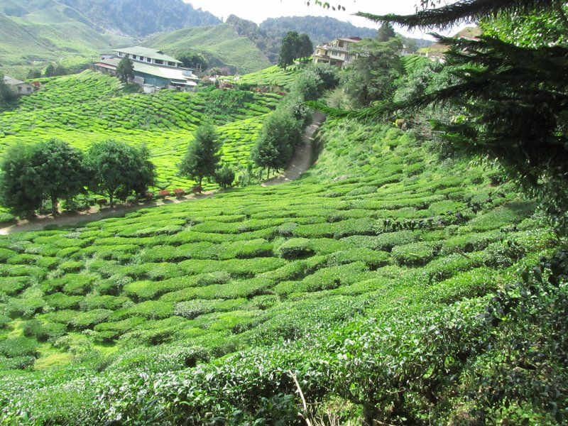 Tea Plantation, Cameron Highlands