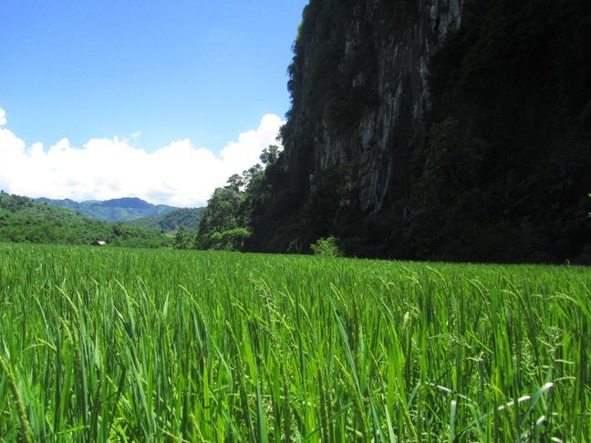 Rice Paddy in Nong Kiow