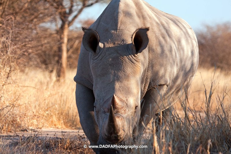 Rhino, head on