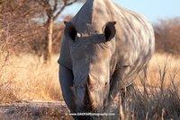 Rhino, head on