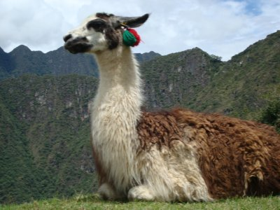 Llama at Machu Picchu (Tim put in great effort for this shot)