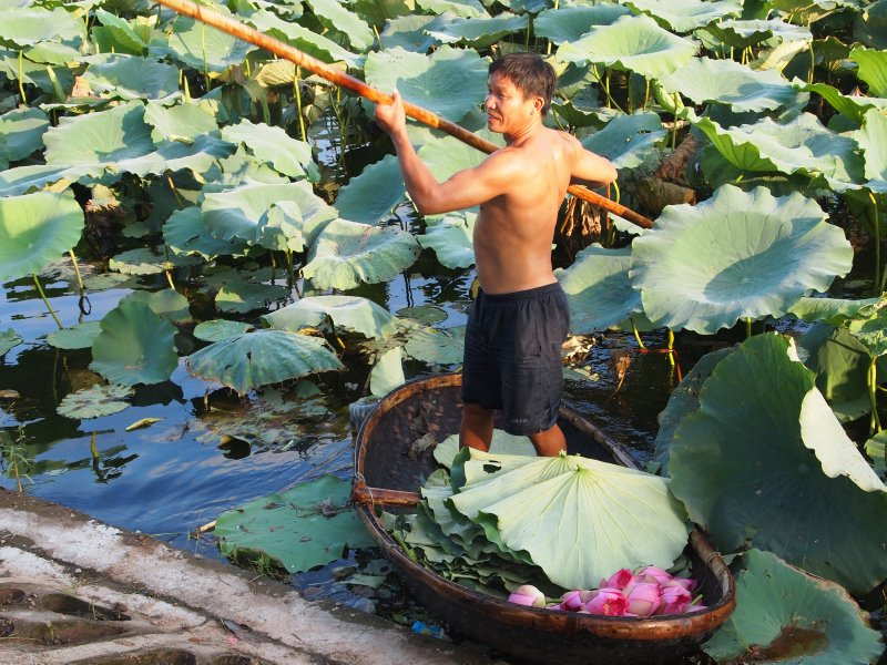 Lotus cutting on the lotus pond by West Lake