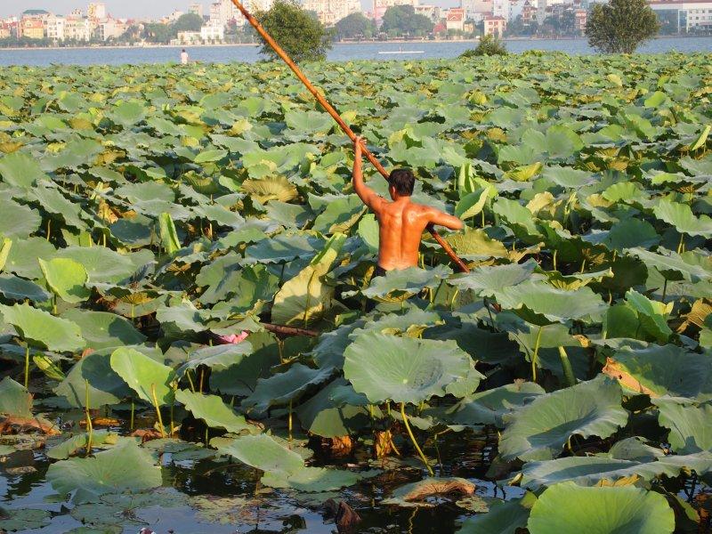 Lotus flower gathering
