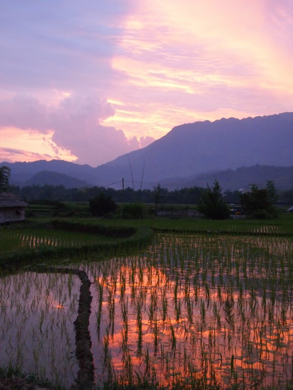 Paddy fields at sunset