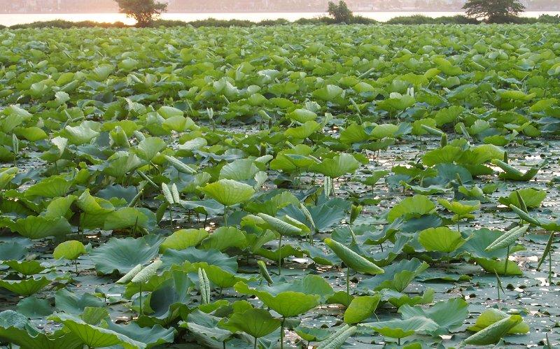 Lotus pond, West Lake