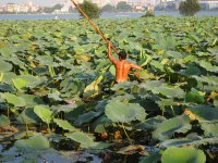 Collecting flowers, lotus pond, Tay Ho
