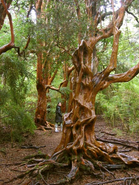 Plan A Road Trip >> arrayan (myrtle tree) (Argentina) - Travellerspoint Travel ...