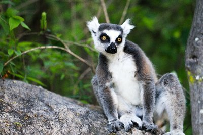 Regal Ring-Tailed Lemur in Madagascar
