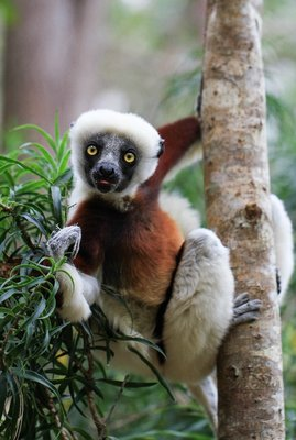 Curious Coquerel's Sifaka