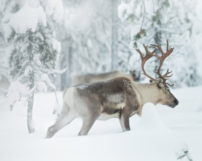 ReindeerBuck-2.jpg