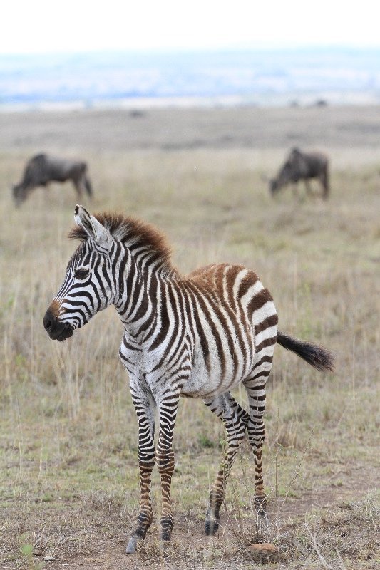 Young Zebra in Kenya
