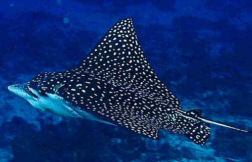 large_spotted-eagle-ray.jpg