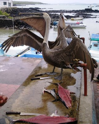 HUNGRY Cormorants