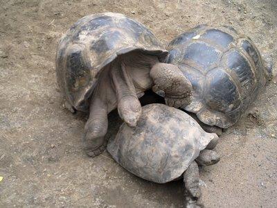 Turtles (mating)