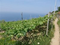 Vineyard above the Ligurian Sea