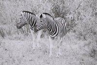 Zebra Etosha National Park