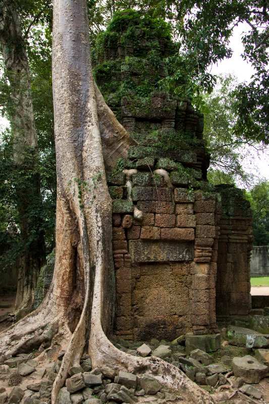 Very old tree grows between Ta Prohm temple Angkor Wat