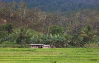 An evening view of a padi field in a rainforest in timor leste