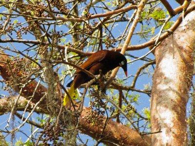 Tikal, Guatemala - Brilliantly coloured bird