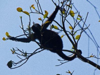Tikal, Guatemala - Howler monkey