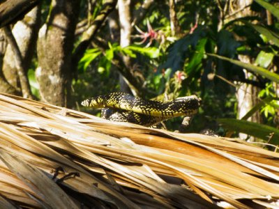 Rio Dulce, Guatemala - 2 meter snake on the roof of our house