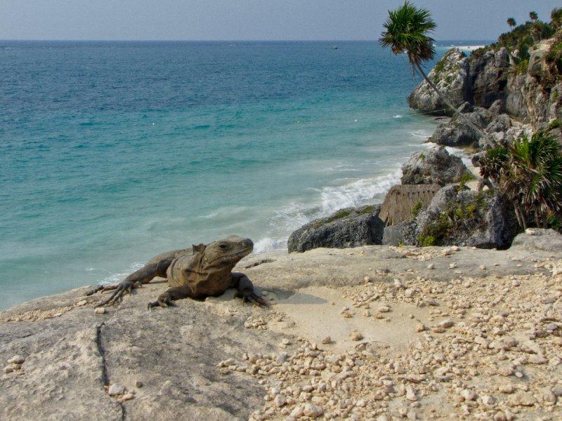 Tulum, Mexico - Iguanas on the rocks