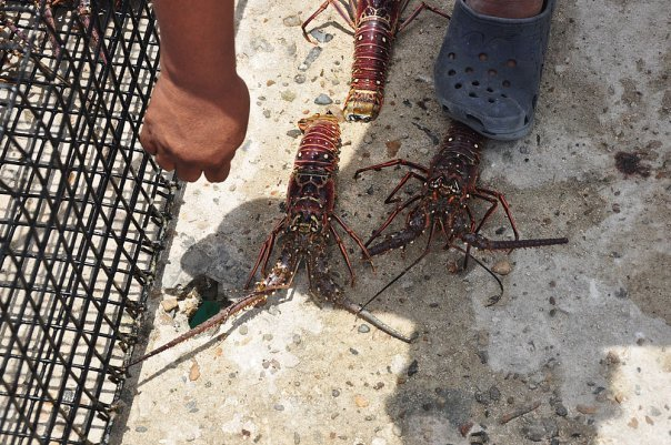 Lobsters for our dinner