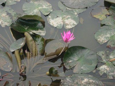 water_lilly.jpg