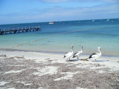 Pelicans on the beach at Rottnest Island