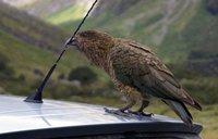 Pesky New Zealand Kea