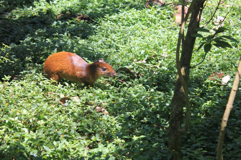 Agouti at the Ecological Reserve