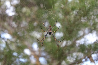 Spider in Sydney Botanical Gardens