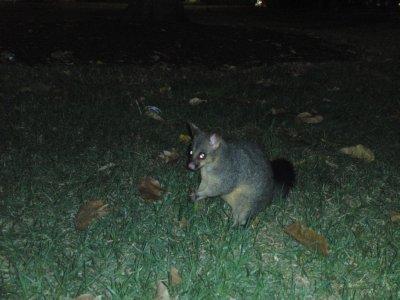 Possum in Hyde Park