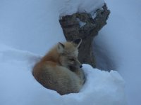 For once, I'm spying on the Fox...in Crested Butte