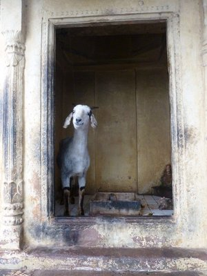 Goat escaping the rain