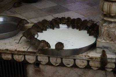 Rats at Karni Mata