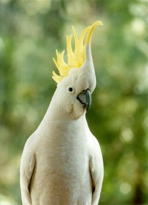 cockatoo_crested3.jpg